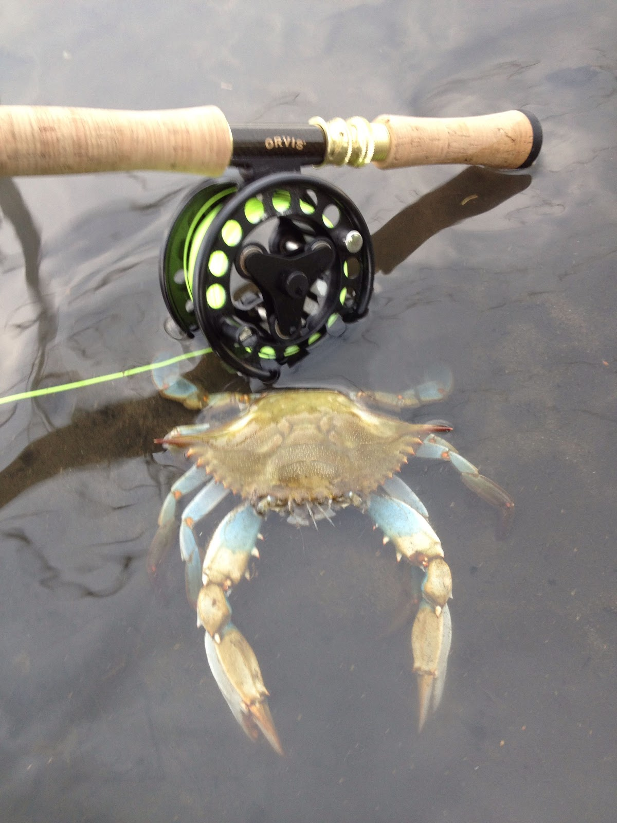Blue crabs in local waters other recent pics fly for Blue crab fishing