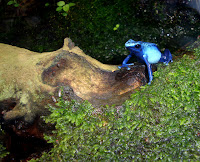 A blue Dyeing Poison Frog