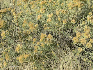 rubber rabbitbrush, formerly Chrysothamnus nauseosus now Ericameria nauseosum