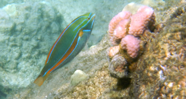 Supermale Belted Wrasse  by Engela Edwards