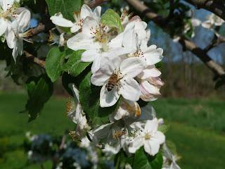 honey bee on apple blossom