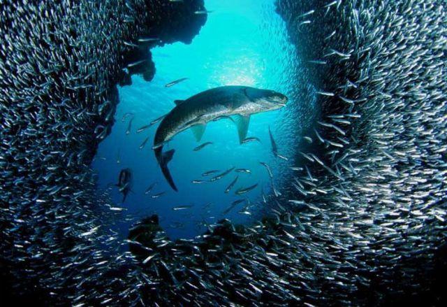 Peixes em sincronia no mar