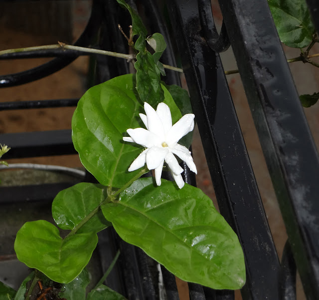 garden bell flower