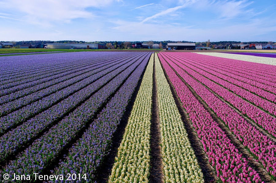 Hyacinths field, Holland 2014