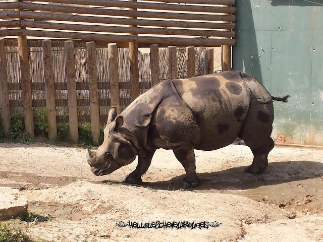 Rhinocéros qui marche dans son enclos à Touroparc