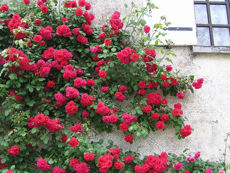 Les rosiers flore de l le de la r union - Comment fixer un rosier grimpant au mur ...