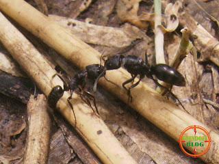 Sepasang Semut Sedang Cipokan
