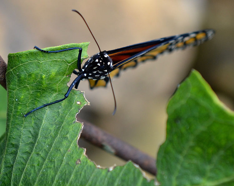 a straight-on photo of the butterfly. Her black and white polka dots stand out.