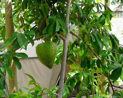 khasiat buah sirsak