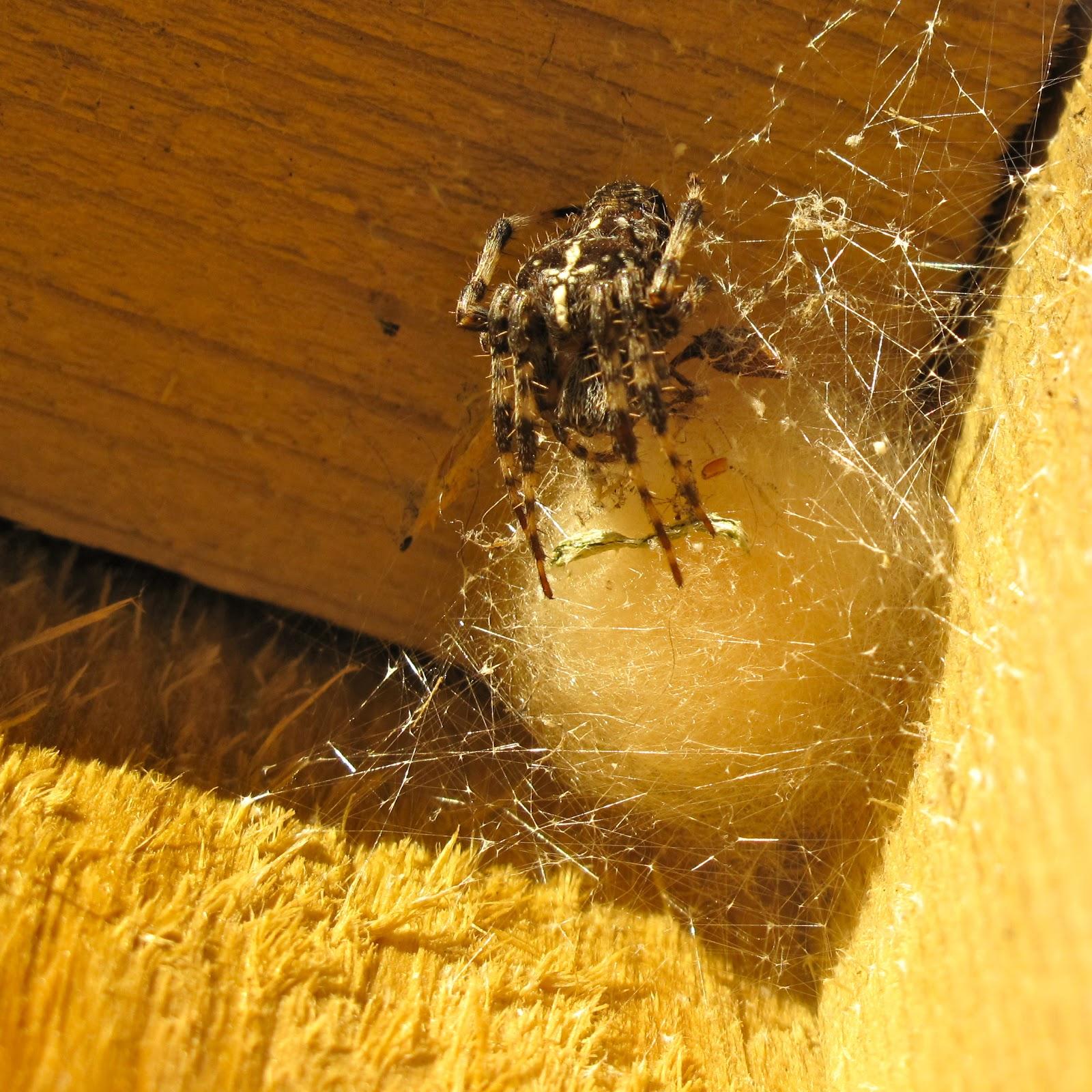 BugBlog: Araneidae: typical orb weavers