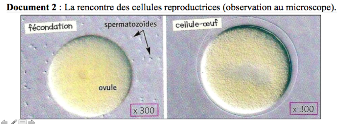 Rencontre spermatozoide ovule video