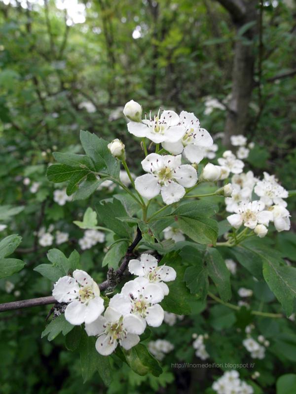 In nome dei fiori fiori di biancospino piccoli e bianchi for Fiori piccoli bianchi