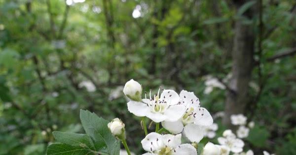 Il nome dei fiori fiori di biancospino piccoli e bianchi for Arbusto dai fiori rosa e bianchi