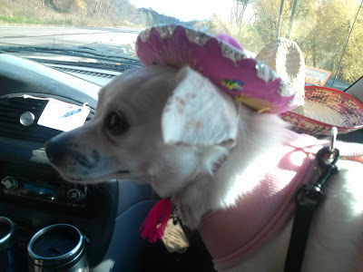 My dog dressed as a Mexican chihuahua for Halloween