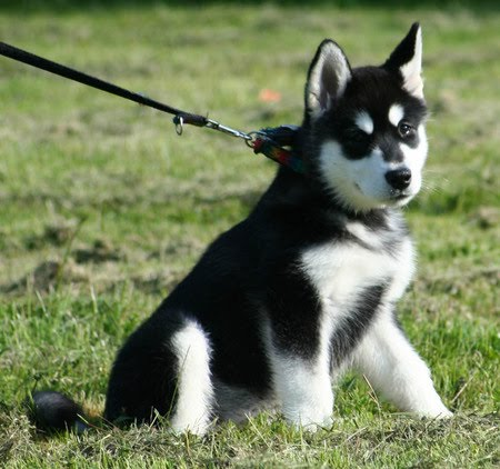 alaskan malamute dog hound canine pooch canis bow-wow despicable ...