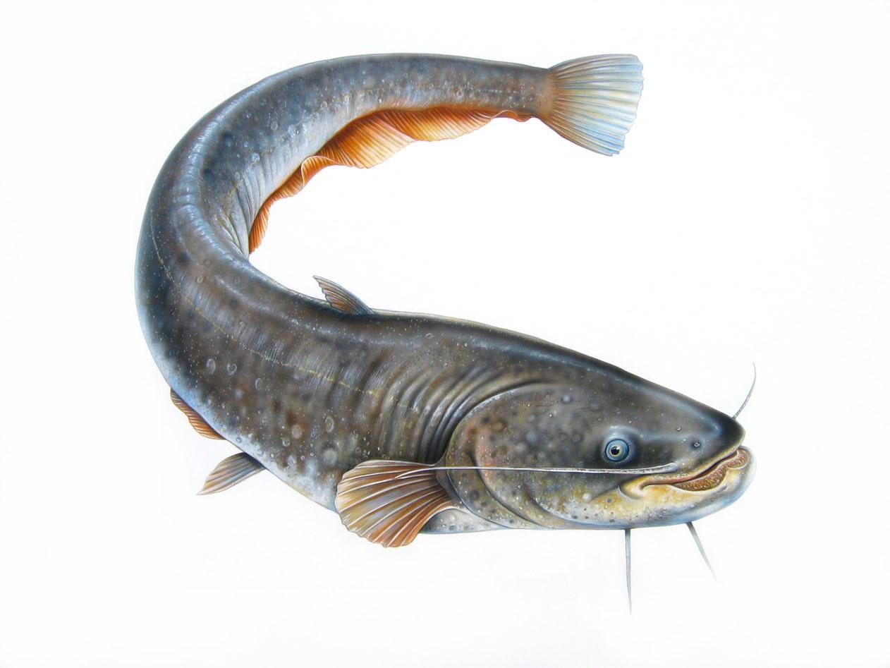 gambar ikan lele gambar ikan