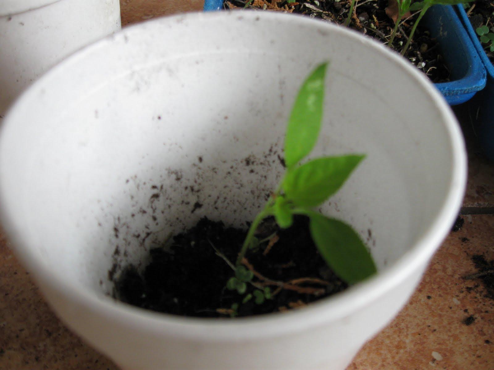 how to grow black pepper seedlings