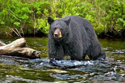 Oso negro cazando - Black bear hunting
