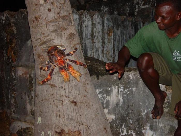giant coconut crab facts wwwimgkidcom the image kid