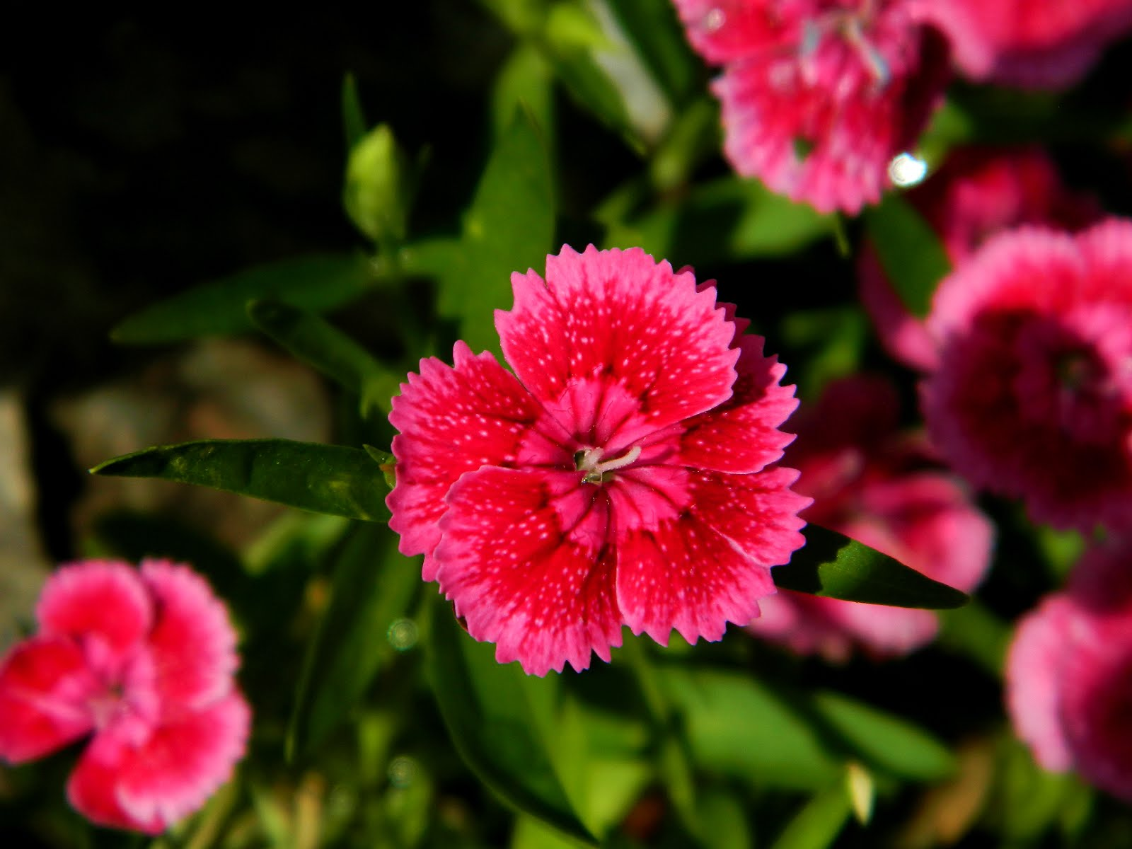 Light Red Dianthus