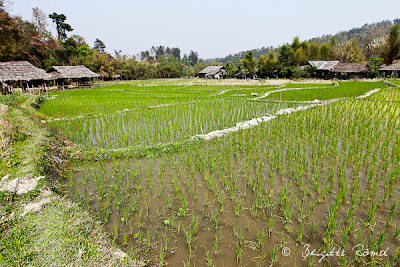 La Thailande et l'eau, les rizières