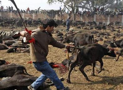 2013 07 17 205731 Penyembelihan Terbesar Paling Kejam Keatas Haiwan