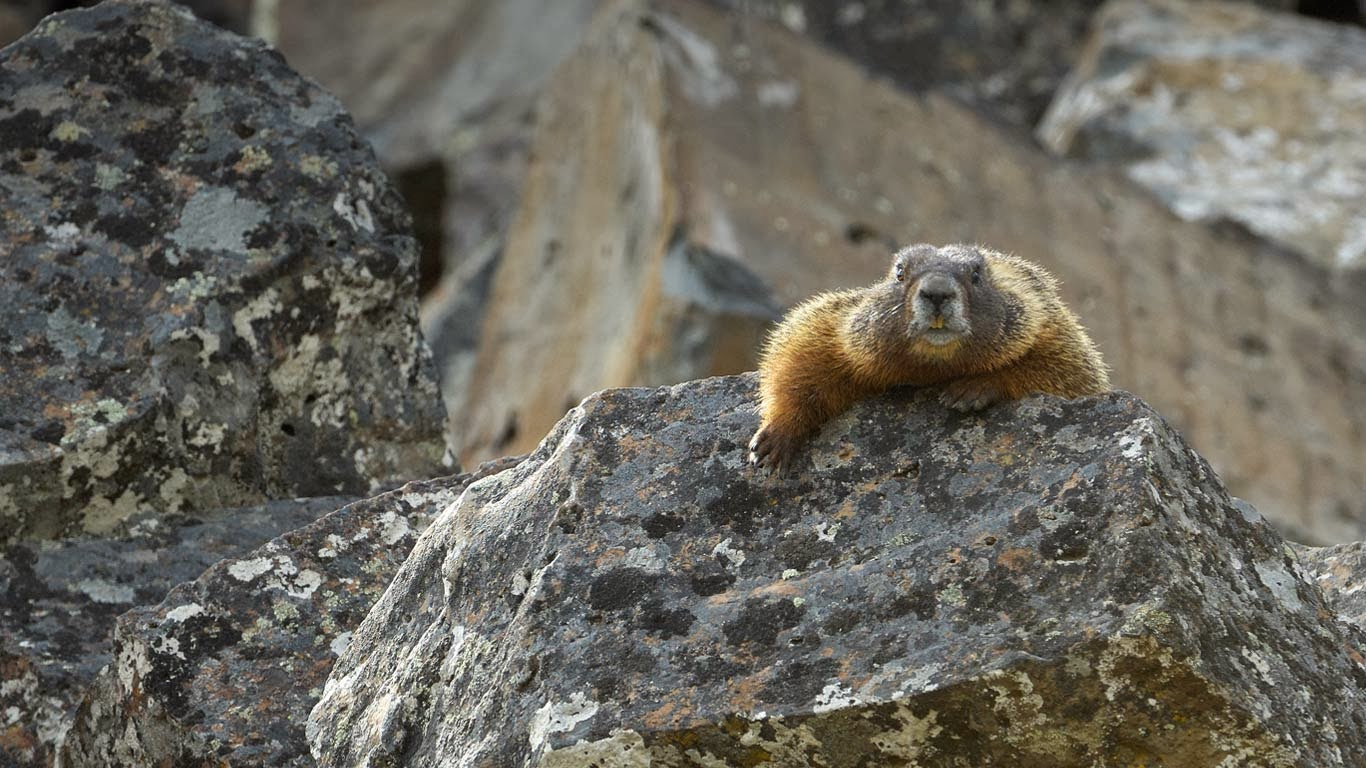 Yellow-bellied marmot in Yellowstone National Park, Wyoming (© George Sanker/Minden Pictures) 356