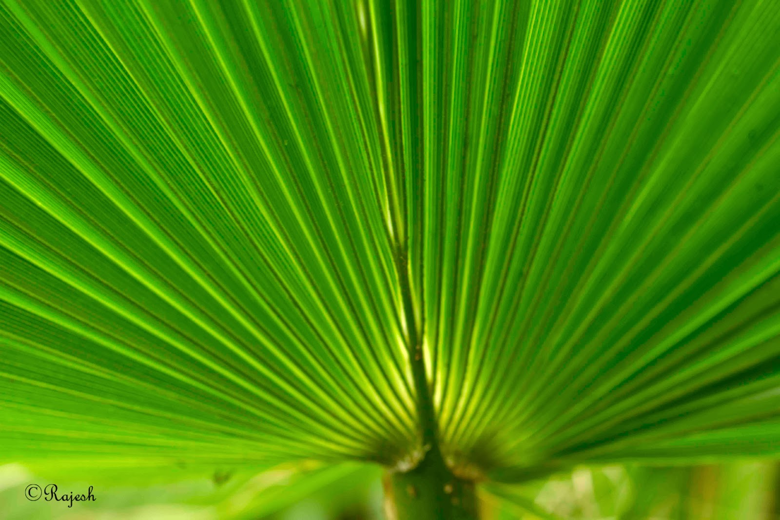 Palm Tree Leaf Palm tree leaf