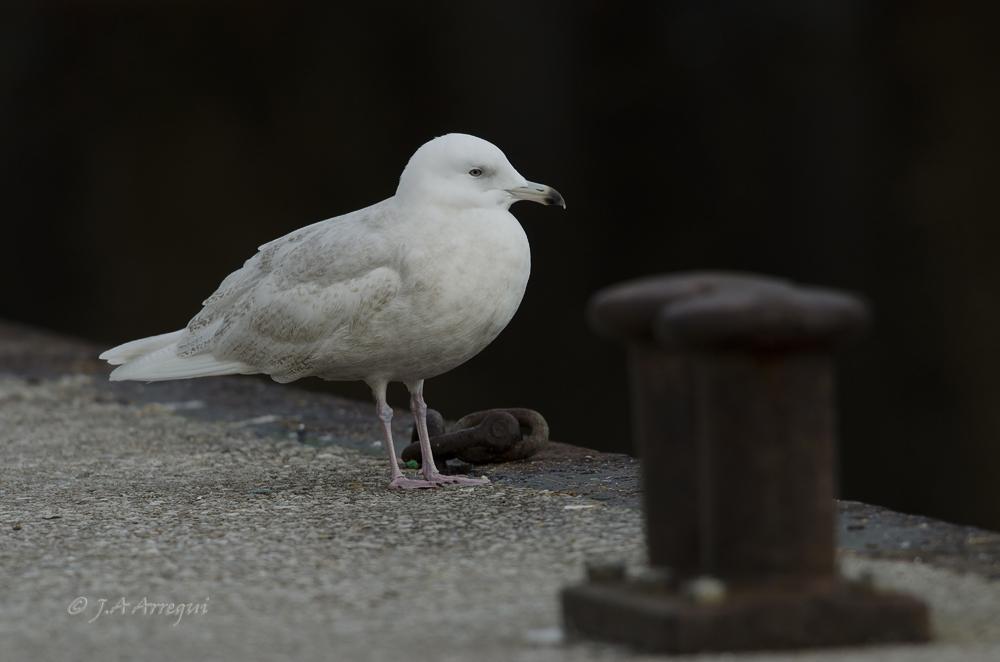 Gaviota polar o groenlandesa, Larus glaucoides, Iceland Gull