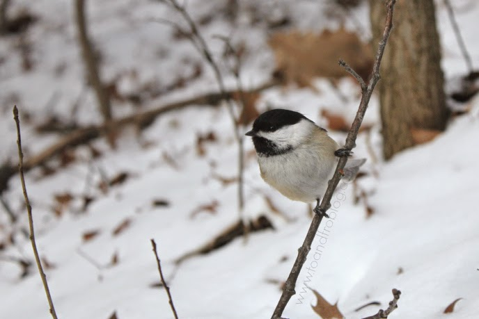 chickadee in High Park Toronto