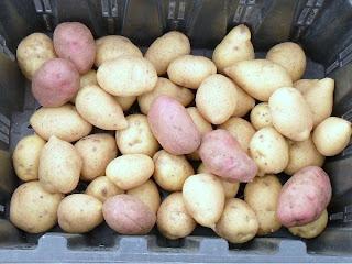 Подготовка к хранению семенного картофеля