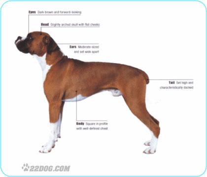 Boxer | IDEAL PET