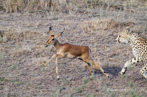 Kisah Persahabatan 3 Cheetah dan Impala