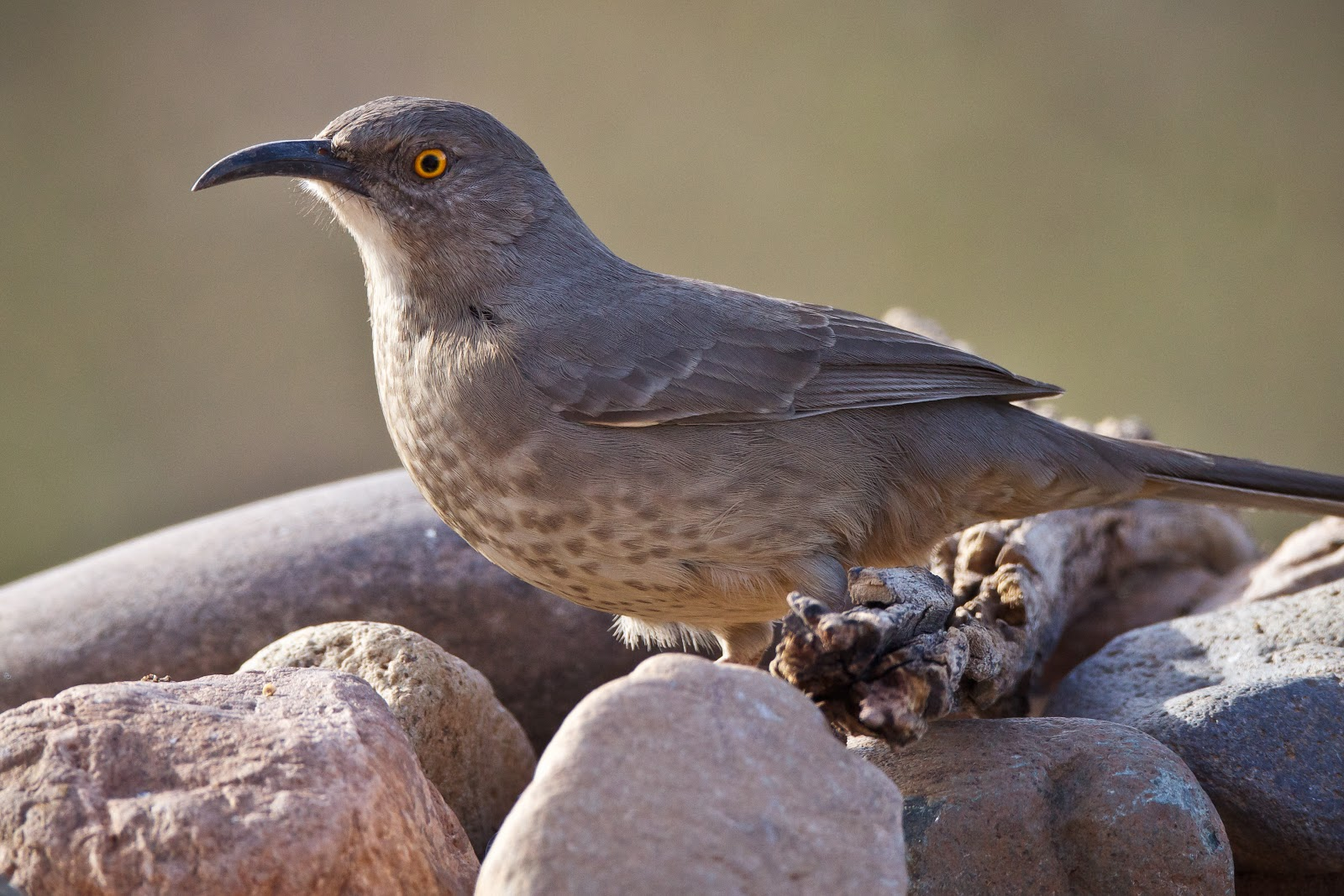 Curved Bill Thrasher Bird This Curve Billed Thrasher is