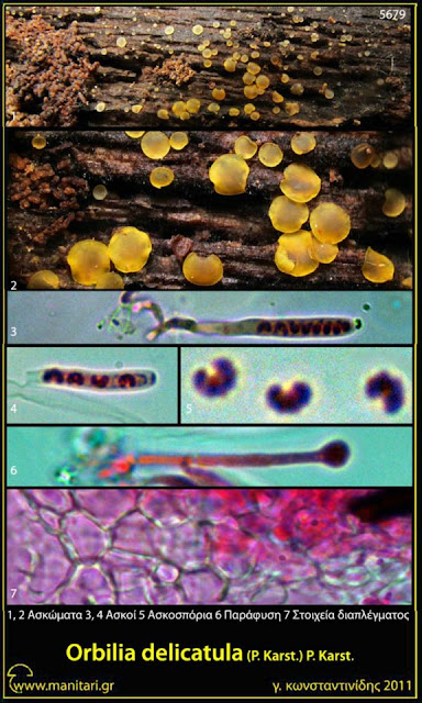 Orbilia delicatula (P. Karst.) P. Karst.