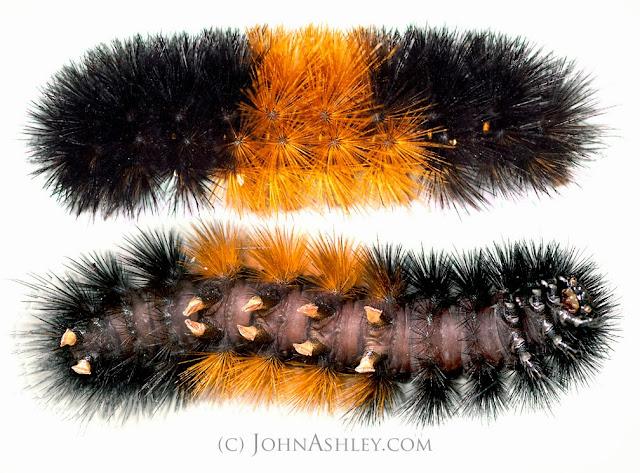 Woolly Bear caterpillar (c) John Ashley