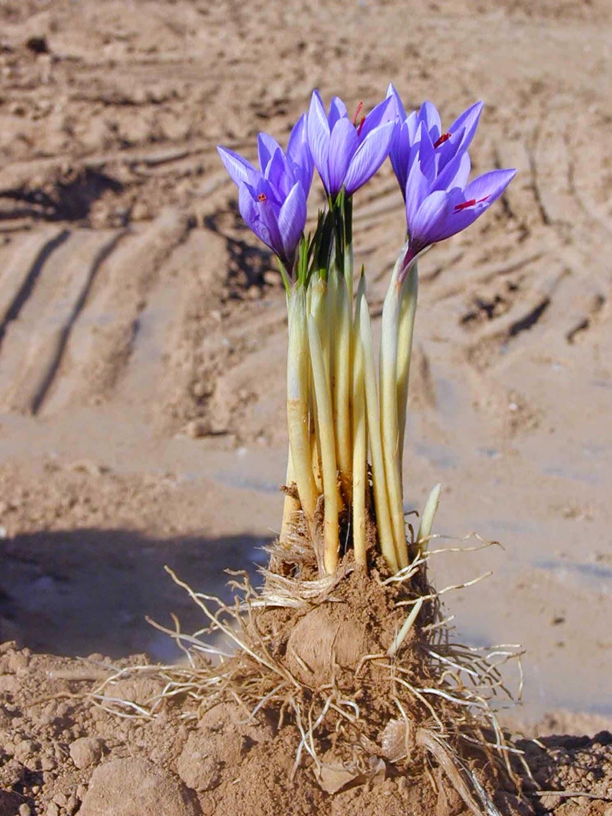 ক্রোকাস স্যাটিভাস (Crocus sativus)images
