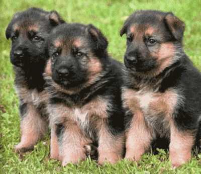 venta de perros en bogota: