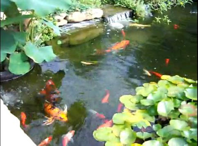 Goldfish Pond - Beautiful Backyard Water Garden