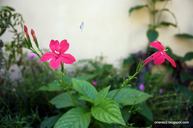red Ruellia elegans