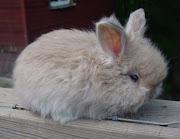 Bluestone River RabbitryPurebred, Pedigreed, English Angora Rabbit in .