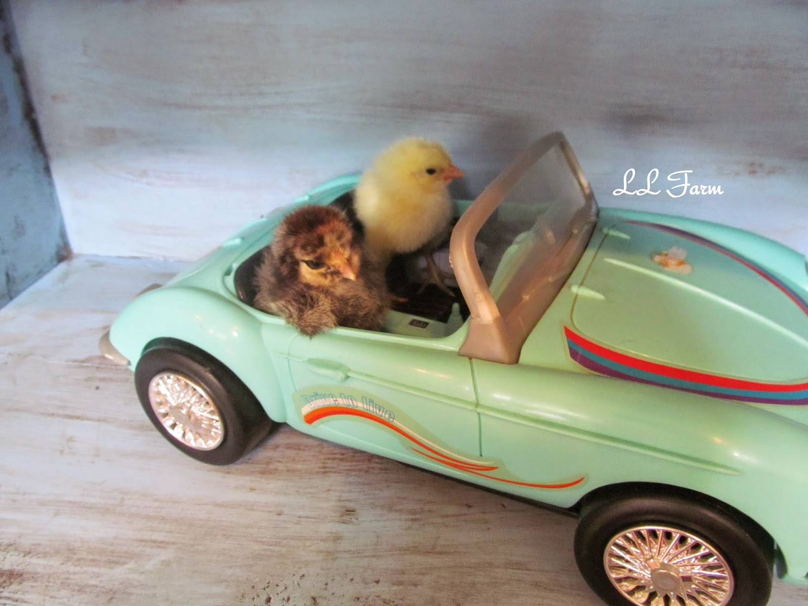 Baby Chick Photo Shoot by LL Farm at Treasure Hunt Thursday From My Front Porch To Yours.