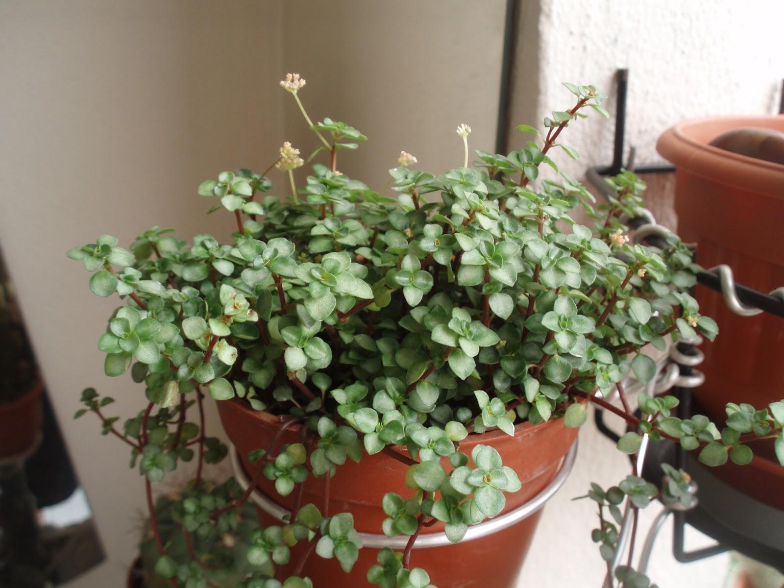 Balcony cactus succulent pilea glauca for Plante pilea