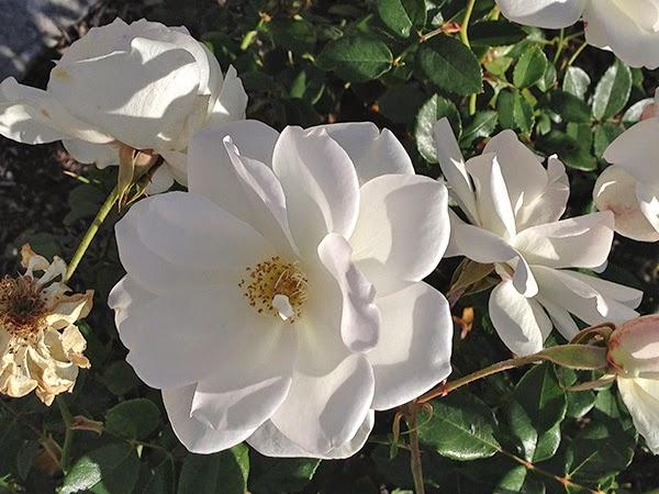 California roses