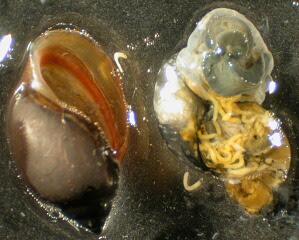 snail farming / snail diseases