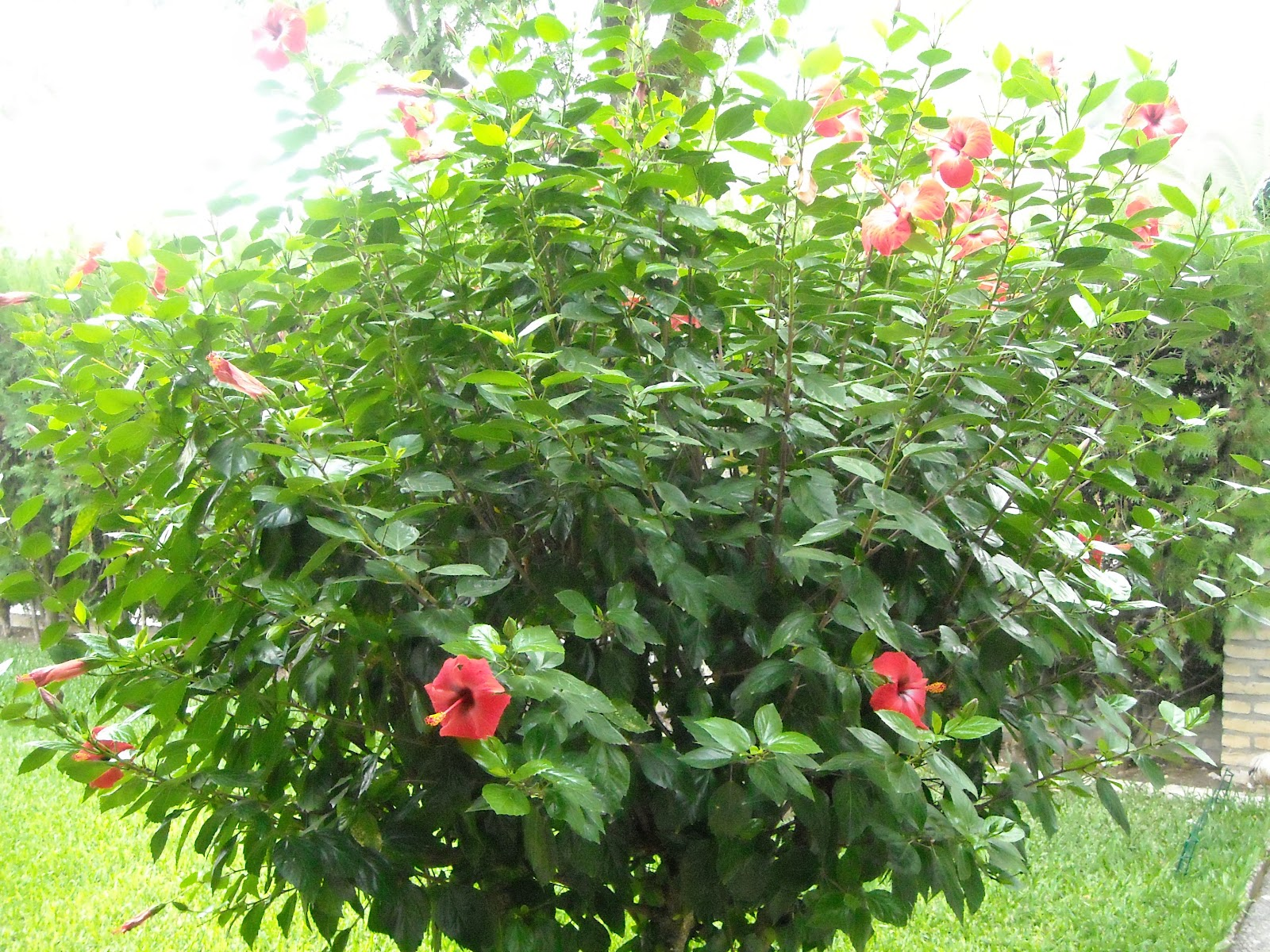 Flores y rboles pacifico rosa de china o flor del beso - Arbol de rosas ...