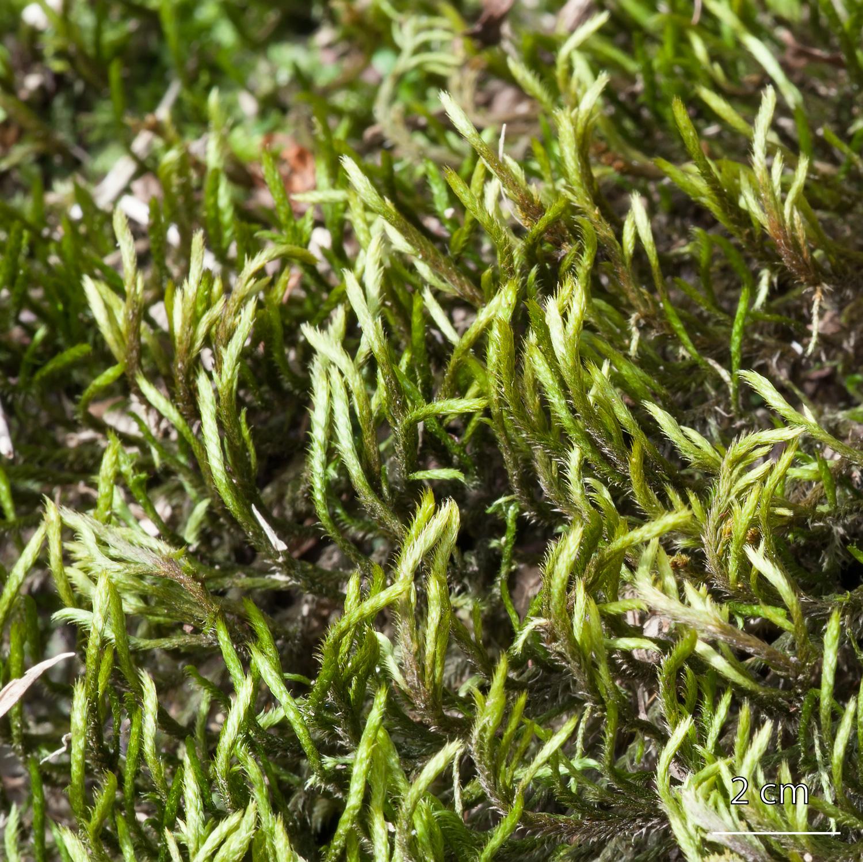 Musgo de la familia Leucodontaceae orden Hypnales