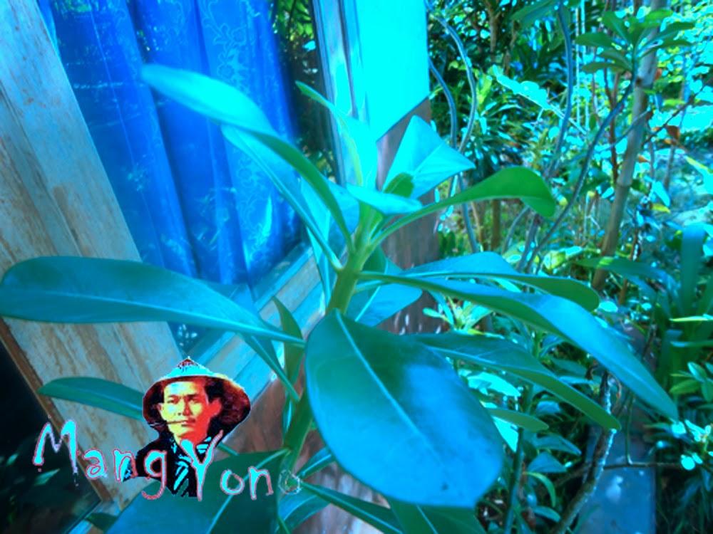 Pohon Adenium Obesum / Kamboja Jepang