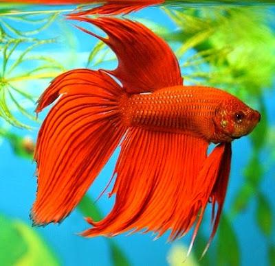 Fakta dan sejarah Menarik tentang Ikan cupang didunia