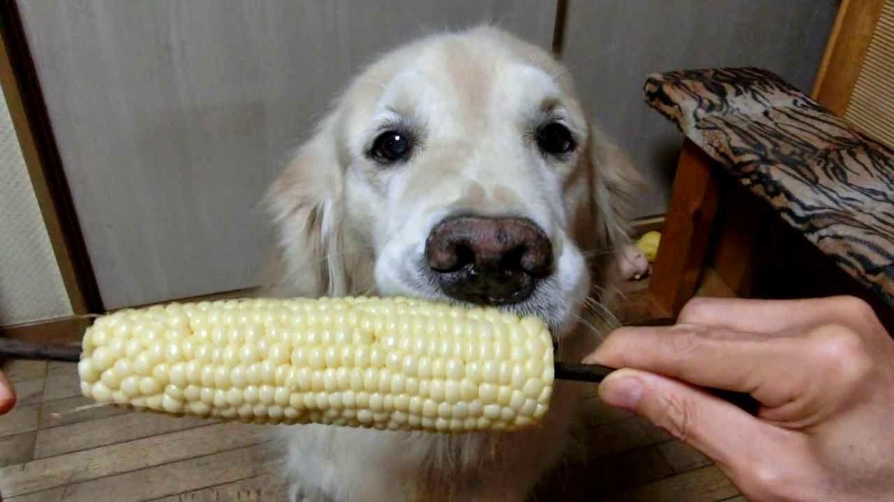 Golden Retriever comendo uma espiga de milho